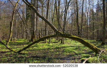 Arch shaped hornbeam tree moss wrapped against deciduous stand - stock photo