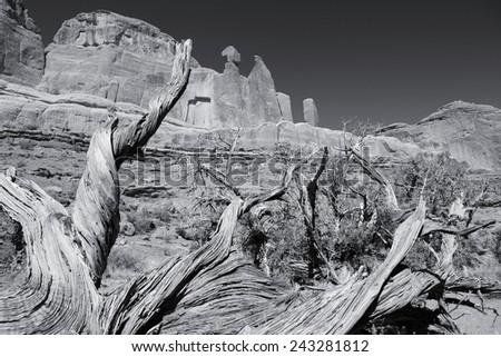 Arches National Park in Utah, USA. Juniperus osteosperma (Utah juniper) next to famous Park Avenue trail. Black and white tone - retro monochrome color style. - stock photo