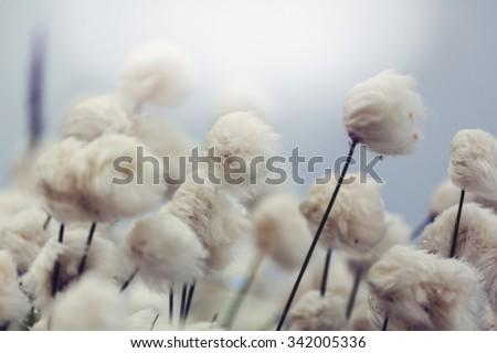 arctic cotton flowers - stock photo