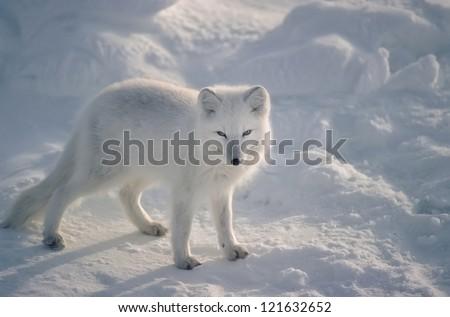 Arctic fox in Canadian Arctic - stock photo