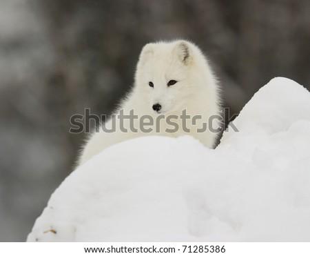 Arctic Fox in deep snow - stock photo