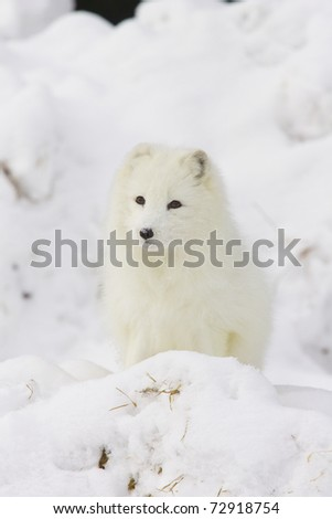 Arctic Fox in deep white snow viewed from the front - stock photo