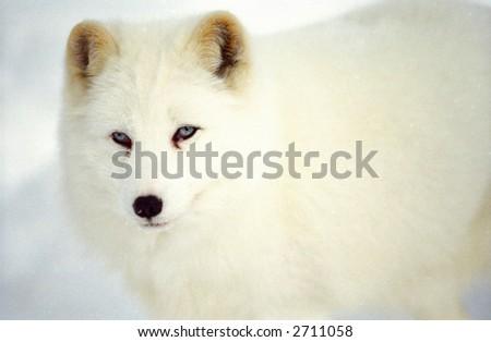 arctic fox in snow (captive rehabilitation sanctuary) - stock photo