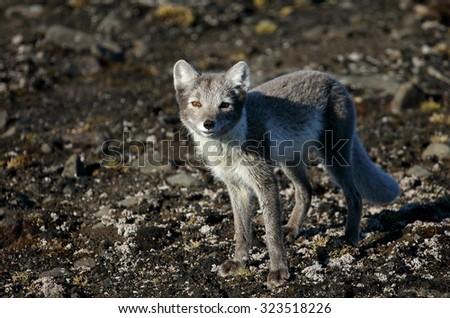 Arctic fox in summer season - stock photo