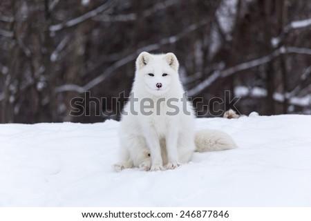 Arctic Fox in the winter - stock photo
