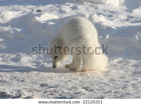 Arctic fox on the snow near Churchill - stock photo