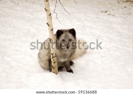 Arctic fox sits near a birch.  Polar fox, (Alopex lagopus).