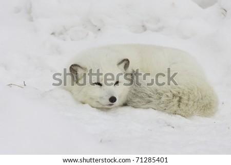 Arctic Fox sleeping in deep snow - stock photo