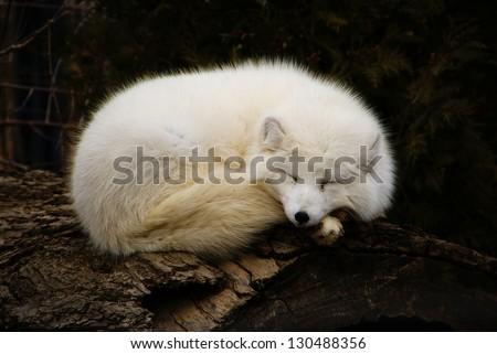 arctic fox snoozing on a log/Beacon - stock photo