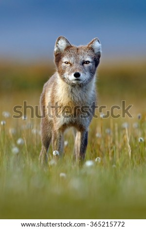 Arctic Fox, Vulpes lagopus, cute animal portrait in the nature habitat, grass meadow with flowers, Svalbard, Norway  - stock photo
