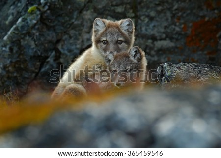 Arctic Fox, Vulpes lagopus, two young, in the nature habitat, grass meadow with flowers, Svalbard, Norway - stock photo