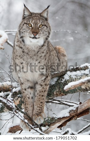 Arctic lynx in snowy winter forest - stock photo