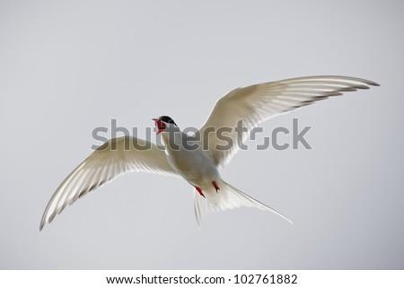 Arctic Tern - stock photo