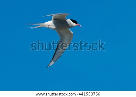 Arctic Tern flying across a clear blue sky.