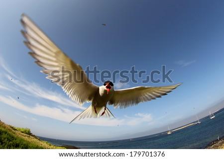 Arctic Tern (Sterna paradisaea) in flight - stock photo