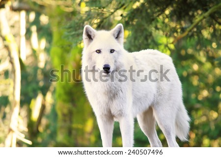 Arctic White Wolf Canis lupus arctos aka Polar Wolf or White Wolf  - stock photo