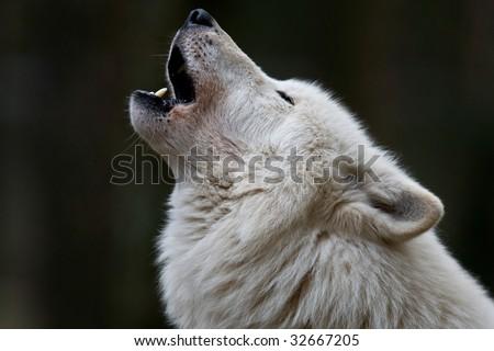 Arctic Wolf - stock photo