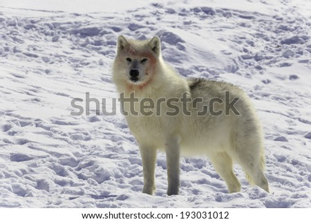 Arctic Wolf after a meal
