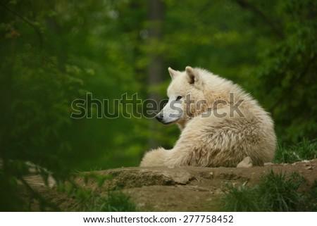 Arctic wolf (Canis lupus arctos) - stock photo