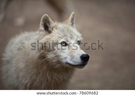Arctic Wolf (Canis lupus arctos) aka Polar Wolf or White Wolf - Close-up portrait of this beautiful predator - stock photo