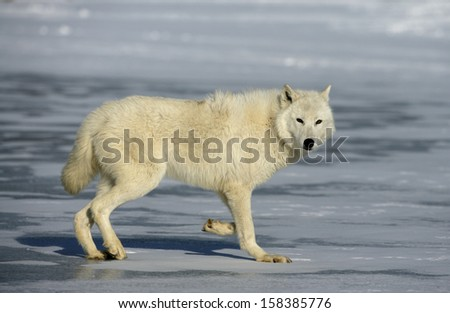 Arctic wolf, Canis lupus arctos, single mammal on snow, captive