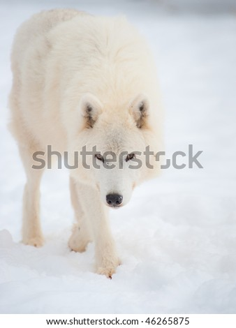 Arctic wolf (Canis lupus arctos) walks on snow in winter. Outdoor wildlife nature. - stock photo