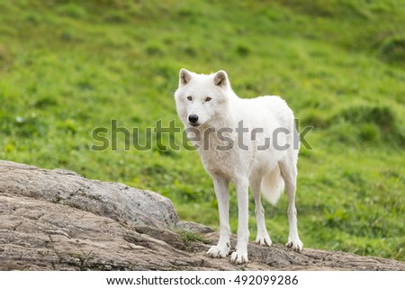Arctic wolf in the fall