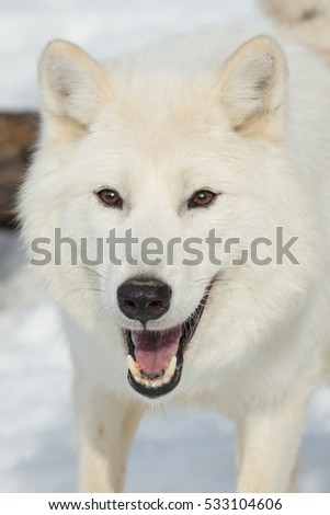 arctic wolf in white winter coat close up portrait with snowy background