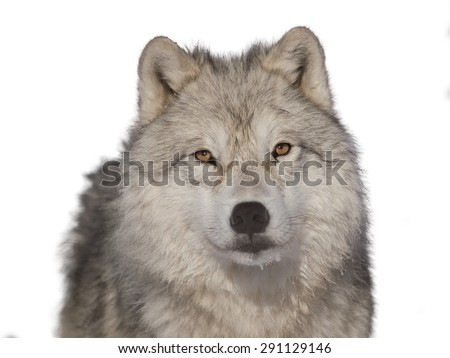 Arctic wolf male head-shoot over white background - stock photo