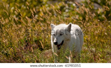 Arctic wolf on a meadow (Canis lupus arctos) - stock photo