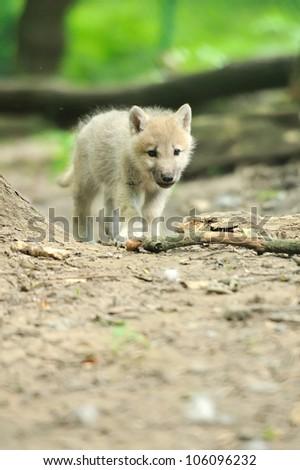 Arctic wolf pup - stock photo
