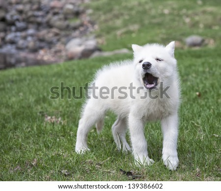 Arctic wolf pup practices his howling technique.  Shallow depth of field - stock photo