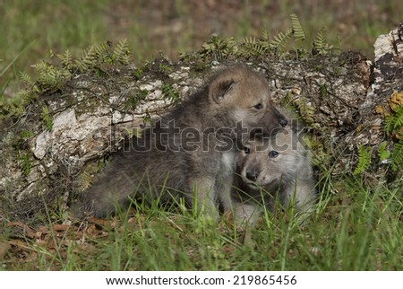Arctic Wolf Pups - stock photo