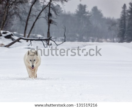 Arctic wolf walking toward the camera.  Winter scene with mist and freezing rain.  Soft focus