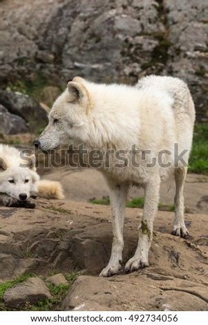 Arctic Wolves in a forest