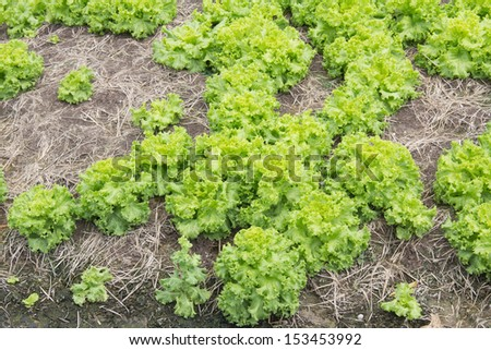 area for growing lettuce - stock photo