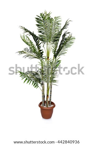Areca palm isolated on the white background - stock photo