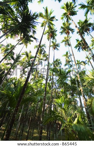 Arecanut palms converging into the sky 2