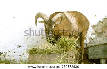 argali mountain goat at the zoo - stock photo