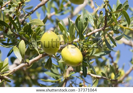 Argan nuts on a branch in a trees in Morocco
