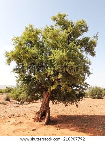 Argan tree (Argania spinosa)  - stock photo