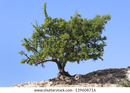 Argan tree (Argania spinosa) against clear blue sky. It is cultivated for the oil (argan oil) that is found in the fruit. - stock photo