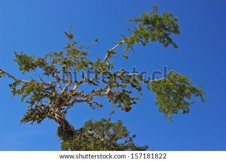 Argan tree in Morocco - stock photo