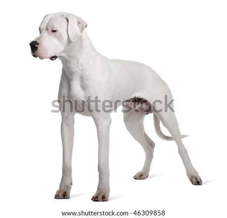 Argentine Dogo or Argentinean Mastiff dog, 1 year old, standing in front of white background - stock photo