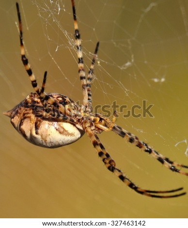 Argiope argentata on its network - stock photo