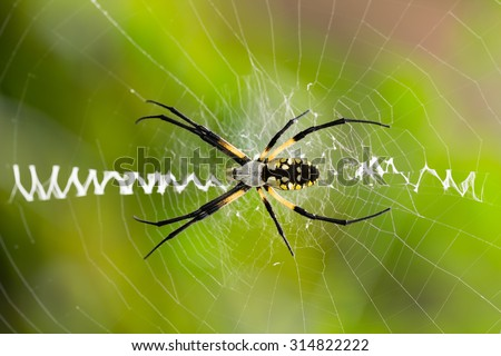 Argiope aurantia, black and yellow garden spider, waiting in middle of or web, waiting for prey. Close up of spider on web with stabilimentum, a silk zipper pattern on her web. - stock photo