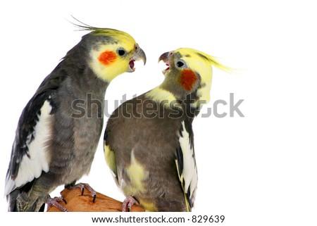 Arguing Cockateils - stock photo