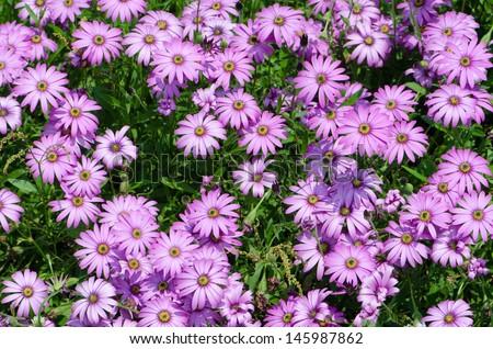 Argyranthemum - stock photo