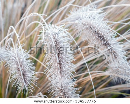 Aristae of Pennisetum alopecuroides grass covered with morning frost - stock photo
