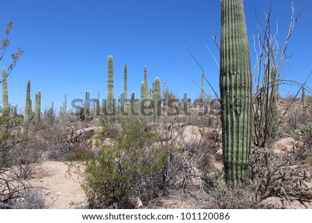 Arizona Desert Landscape with Trail in Saguaro National Park West - stock photo